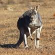 angorichina-station-kangaroos